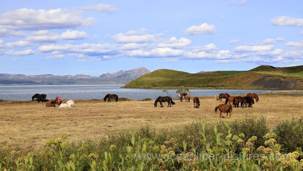 Pferde am Lake Myvatn auf Iceland. Foto: Oliver Asmussen/oceanliner-pictures.com
