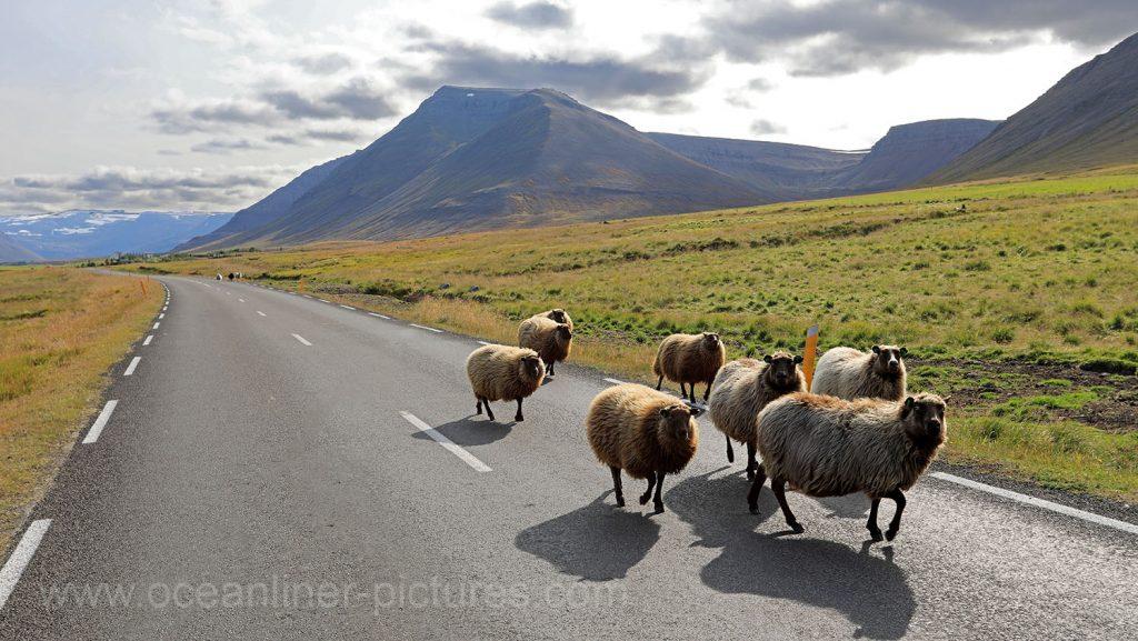 Schafe auf Island in den Westfjorden. Foto: Oliver Asmussen/oceanliner-pictures.com