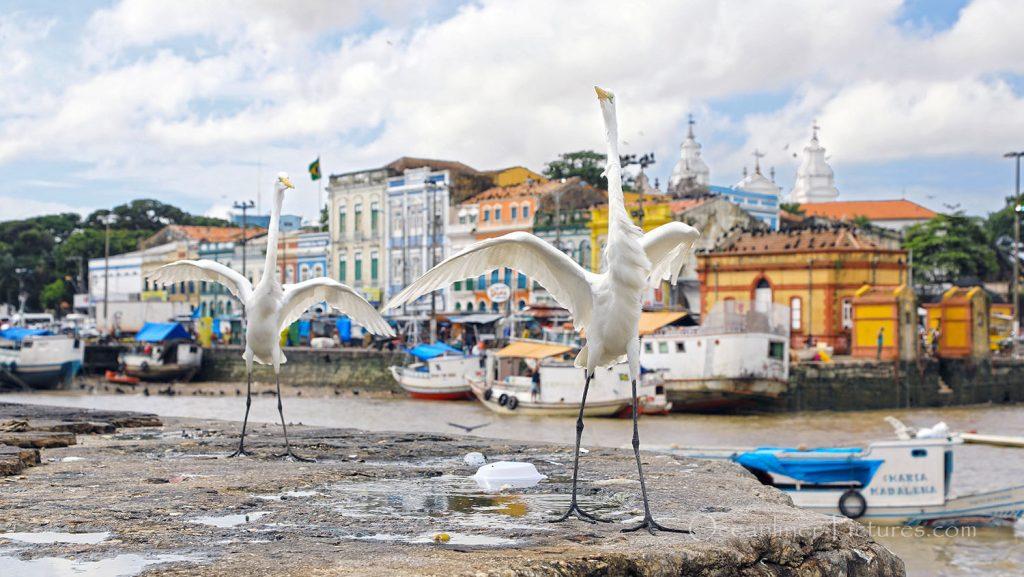 Silberreiher vor Altstadt in Belem. / Foto: Oliver Asmussen/oceanliner-pictures.com