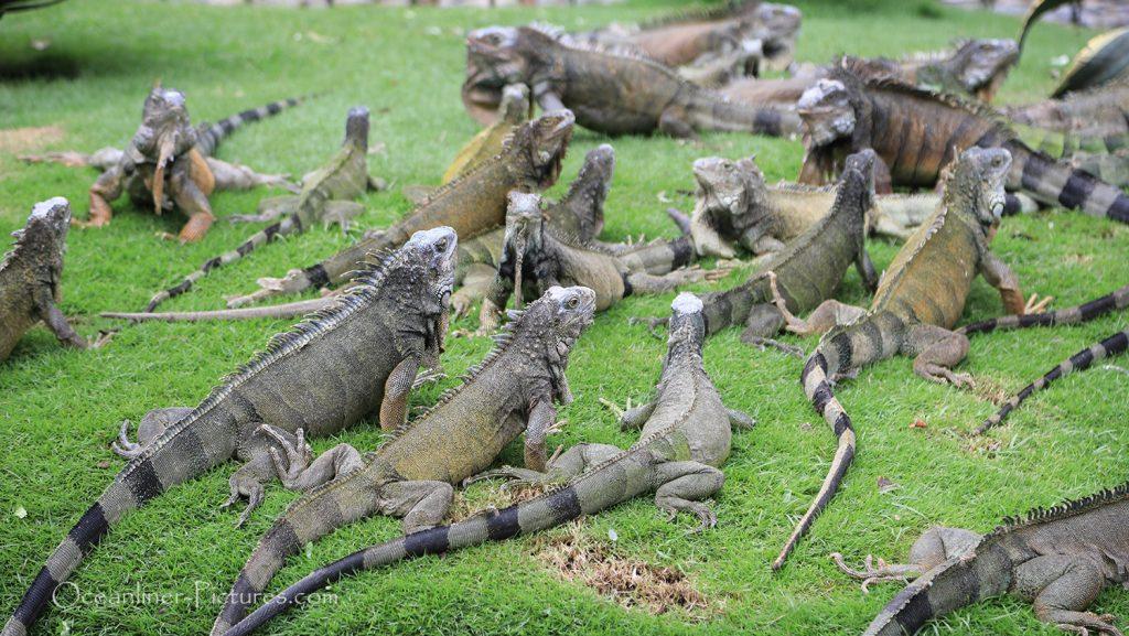 Leguane im Parque Seminario Guayaquil, Ecuador / Foto: Oliver Asmussen/oceanliner-pictures.com
