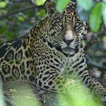 Jaguar (Brasilien)