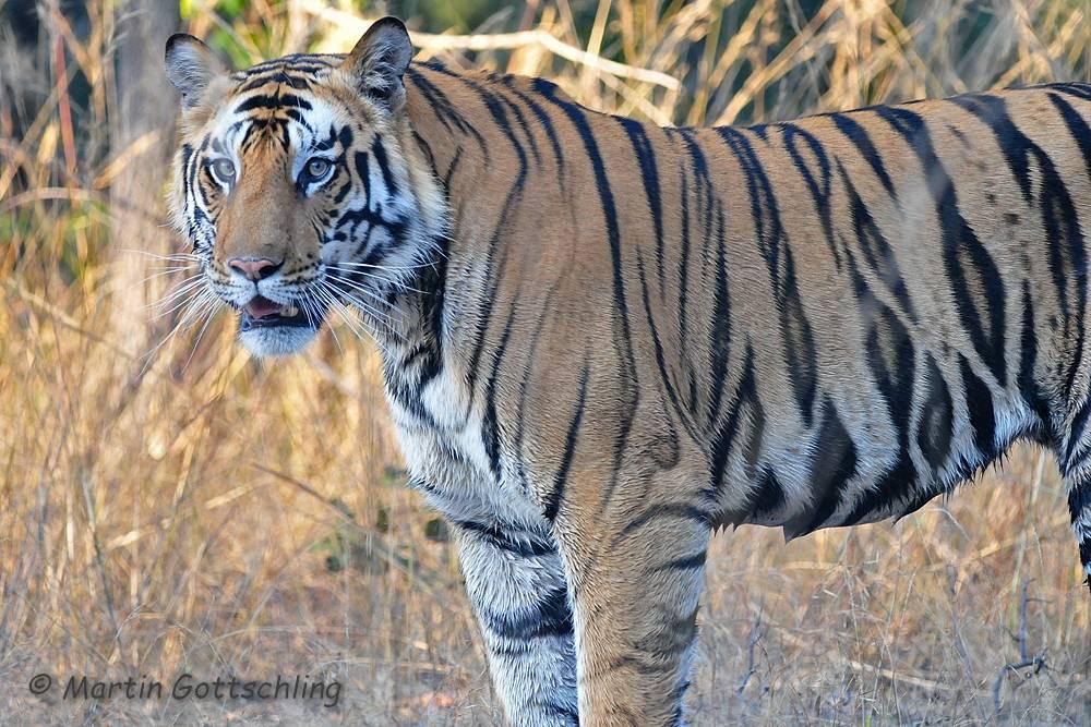 Tiger (Indien)