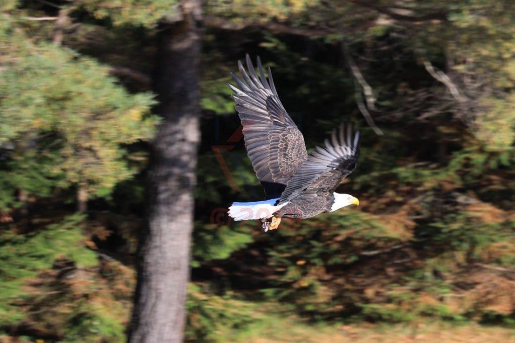 Weisskopfseeadler, American Eagle, Sankt-Lorenz-Strom / Foto: Oliver Asmussen/oceanliner-pictures.com